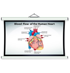 Chart showing blood flow in human heart vector image