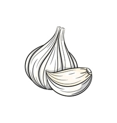 garlic on white background vector image