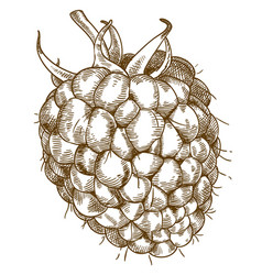 engraving of raspberry vector image vector image