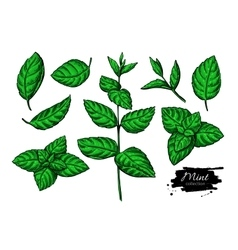 Mint drawing set isolated plant and leaves vector
