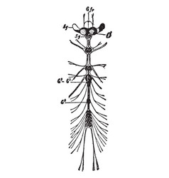 Nervous system of a ladybug vintage vector