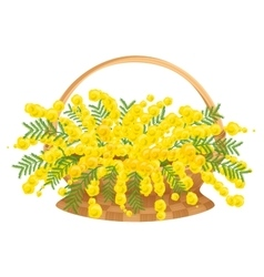 Wicker basket with flowers mimosa vector