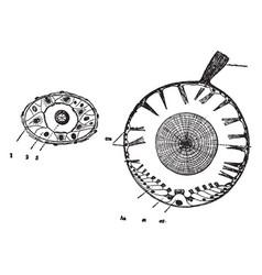 Auditory organs of mollusks vintage vector