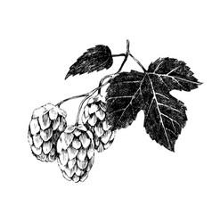 Hand drawn hop plant vector