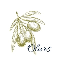 Olive branch sketch with olives bunch vector image