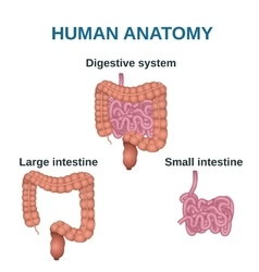 Digestive tract image intestine vector