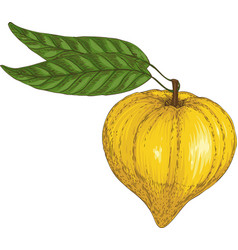 ripe yellow canistel or eggfruit vector image vector image