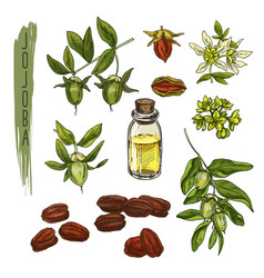 Sketch of colourful jojoba elements vector