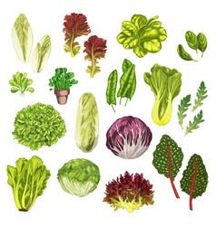 Vegetable greens salad leaf herbs watercolor set vector