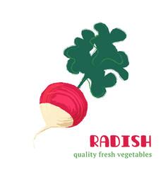 Fresh radish isolated on white background vector