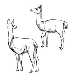 set of lamas vector image
