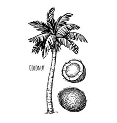 Coconut and palm tree vector