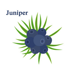 Juniper berries fresh herb for alcohol dry gin vector