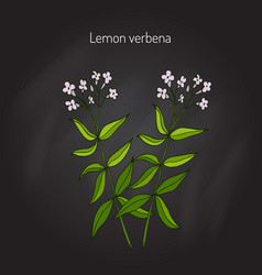 Lemon verbena aromatic plant vector