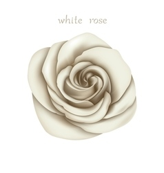 White rose vector image vector image
