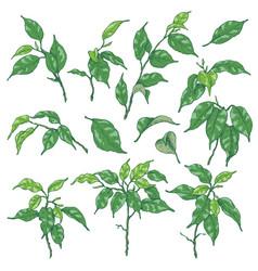 Green ficus branches sketch vector