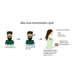 Zika virus transmission cycle infographics vector