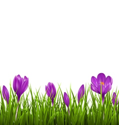 Green grass lawn with violet crocuses isolated vector