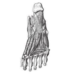 Third layer of the muscles of the sole of the vector