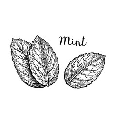 ink sketch of mint leaves vector image vector image