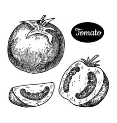 Hand drawn sketch style tomato vector