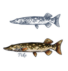 Pike fish sketch with pickerel for fishing design vector