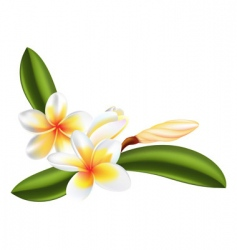 frangipani or Plumeria flower vector image vector image