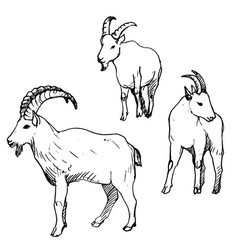 Set of rams vector