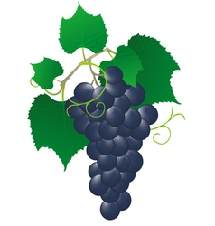 blue vine vector image