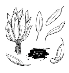 Sage drawing set isolated sage plant with vector