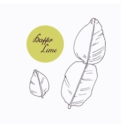 Hand drawn kaffir lime branch with leaves isolated vector