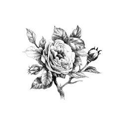 Hand drawn garden rose flower isolated on white vector image