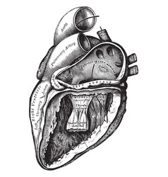 Heart with left auricle and ventricle laid open vector