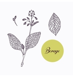 Hand drawn borage borago branch with leaves vector