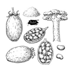 baobab superfood drawing set isolated hand vector image