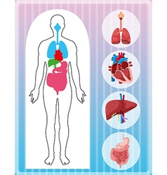 Human anatomy with many organs vector