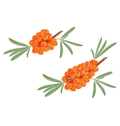 Sea buckthorn vector