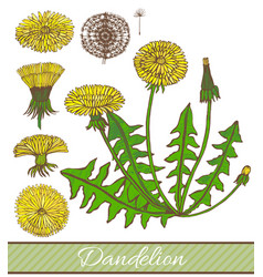 Hand drawn colored dandelion vector