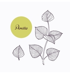 Hand drawn perilla herb branch with leaves vector