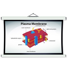 Chart showing plasma membrane vector