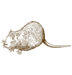 engraving drawing of nutria or coypu vector image vector image