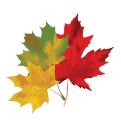 Autumn maple leaves on a white background Red vector image vector image
