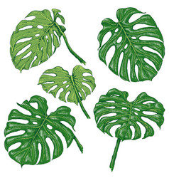 green monstera fronds sketch vector image vector image