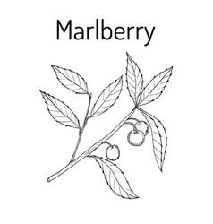 marlberry ardisia japonica medicinal plant vector image