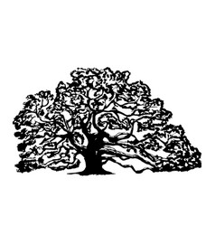 old oak tree on a white background vector image