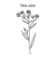 tatarinows aster medicinal plant vector image