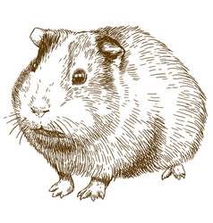Engraving drawing of guinea pig vector