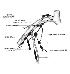 Lymph node of upper extremity vintage vector