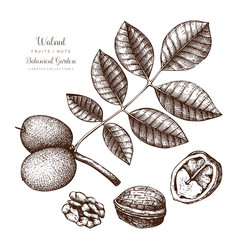 Walnut botanical vector