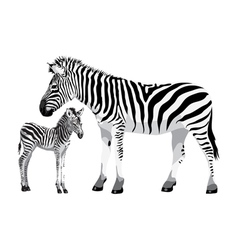 Zebra with a foal vector